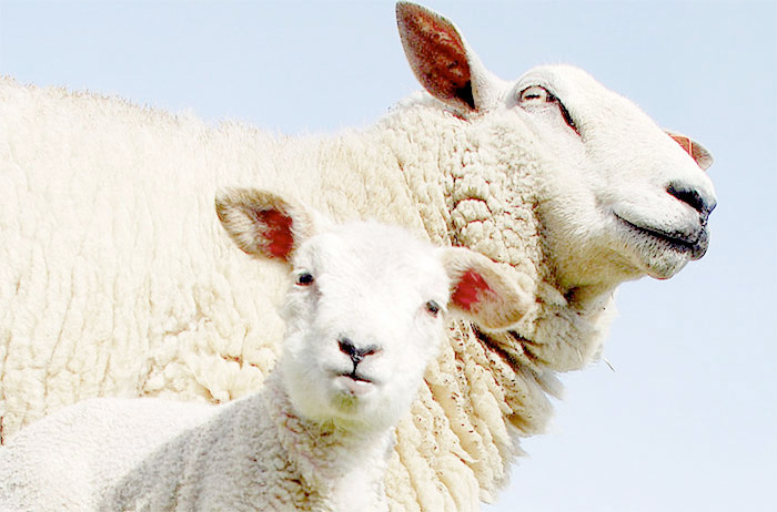 Tackling sheep scab remains a priority for the industry