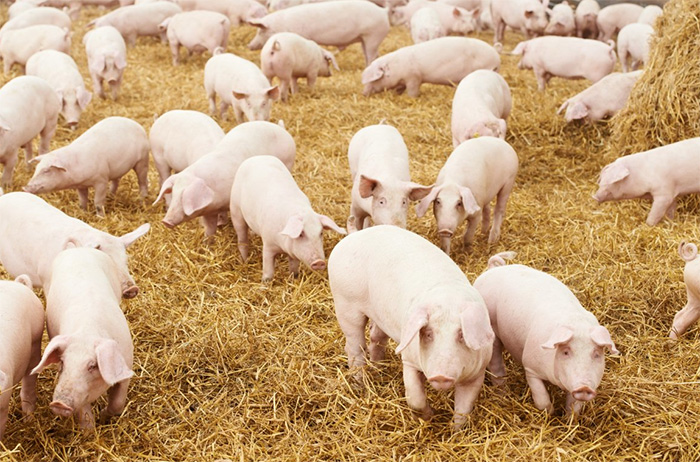 Worming pigs represents significant return on investment
