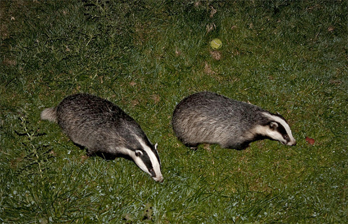 Anti-badger cull march to take place in Dorchester