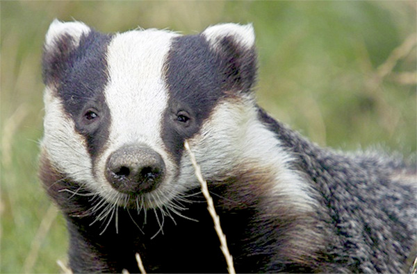 Vets 'will not support' Badger Trust's judicial review