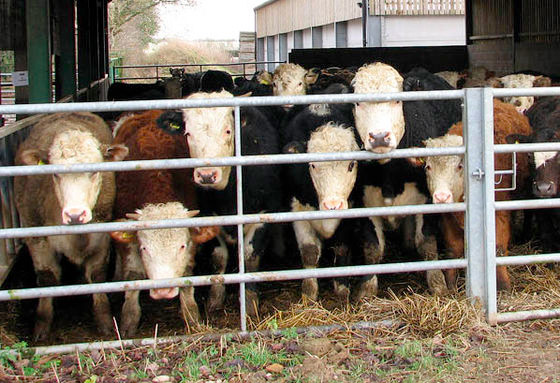 Liver fluke affecting one in four cattle
