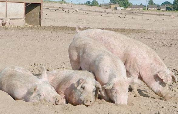 Pig welfare: EFSA updates its scientific advice
