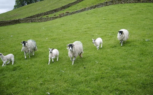 Farmers need to stay alert to sheep scab
