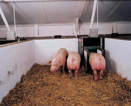 Boars on test on one of ACMC's nucleus units in Yorkshire.
