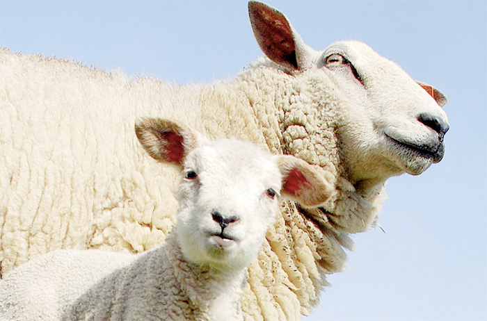 £23m annual bill 'burdening sheep farmer...