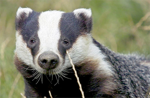Small-scale badger cull risks spreading TB further, scientists warn