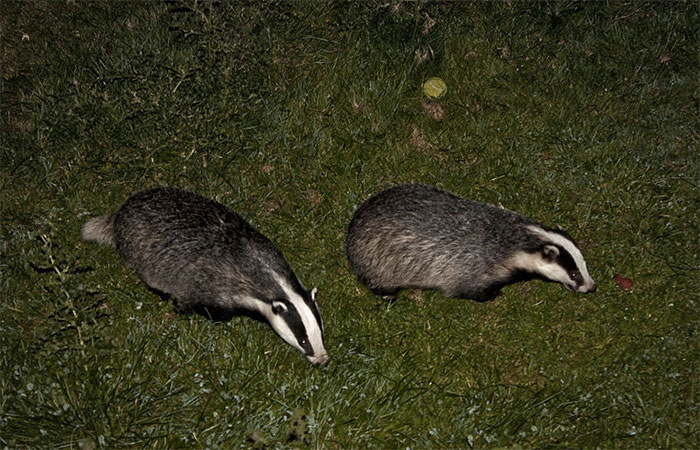 Shotguns will be allowed in badger culls