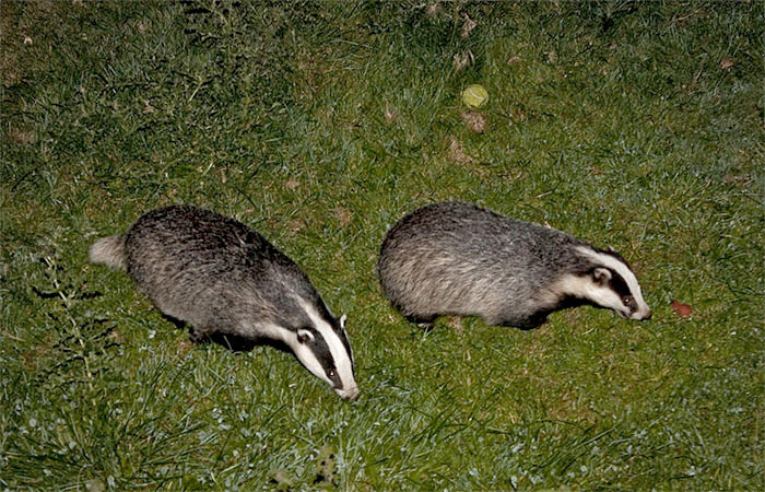 Badger cull breaches wildlife convention, say charities