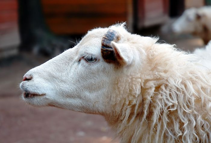 A sheep's early life experiences can shape behaviour in later life
