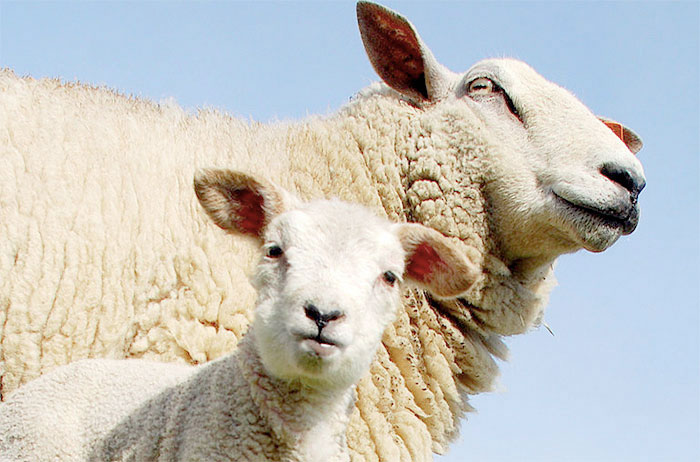 NFU concerned over fall in lamb prices