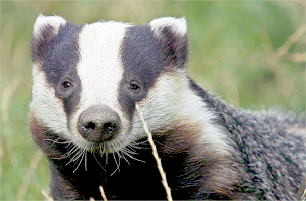 Veterinary association to support second year of badger culls