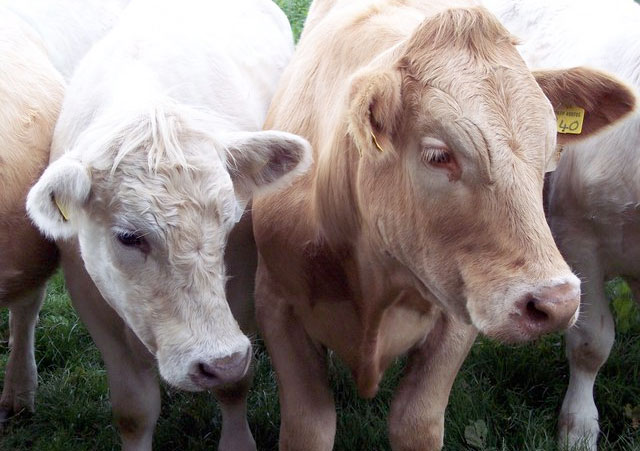 August brings lungworm risks to unvaccinated cattle