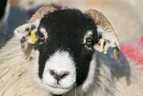Sheep farmers warned over tagging or ris...