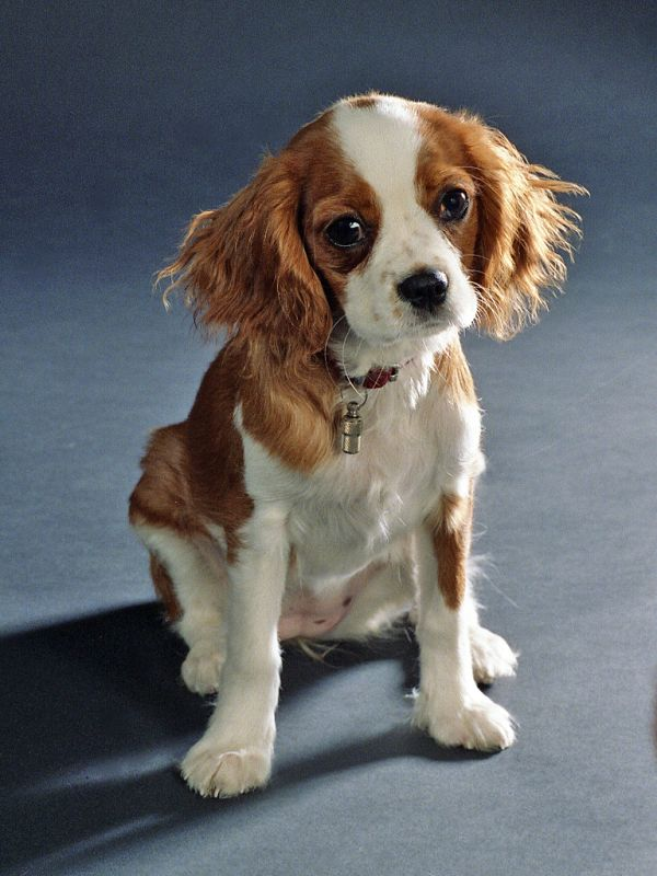 Skull shape risk factors could help in the welfare of toy dog breeds