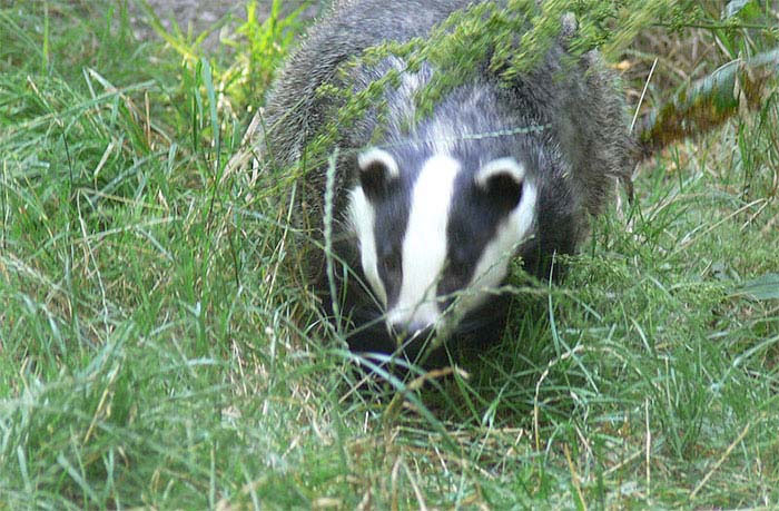 Vaccination of badgers: Review of risks