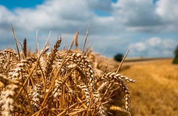 Keep track of mycotoxin risk right up to harvest