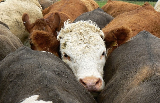 UK beef herd continues decline