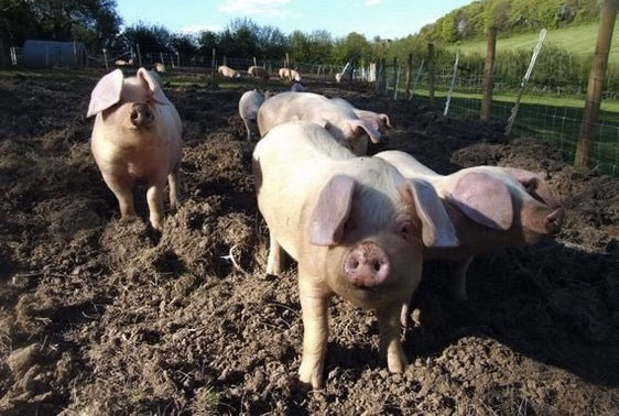 New project to help pig producers select...