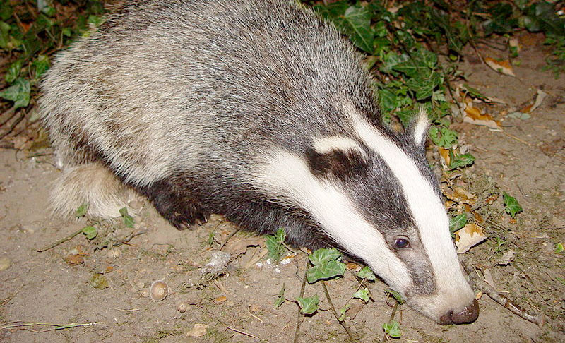 Innovative feeder proven as badger deter...