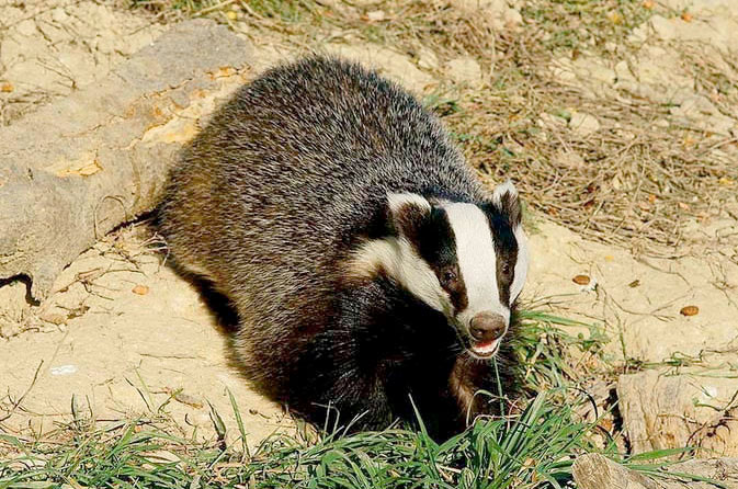 Wildlife trusts urge badger vaccination schemes
