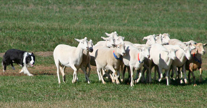 Research could lead to robot sheepdogs