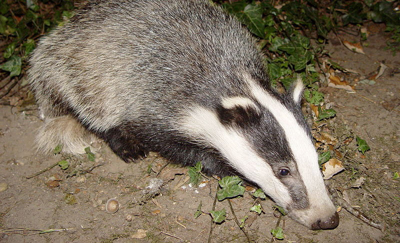 Culling badgers 'not the answer' as vaccination scheme launched