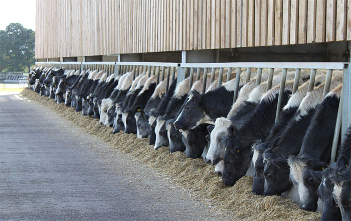 Dairy farmers risking cows' health with ...