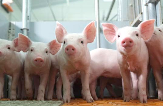 Pig industry introduces confidential reporting service
