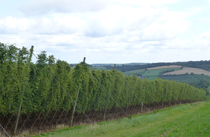Growers join forces to promote the humble hop