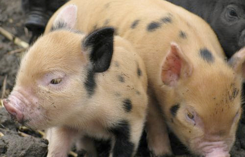 Chinese award for pig welfare launched
