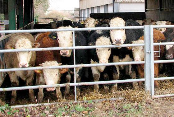 Liver fluke 'remains a risk for cattle farmers'