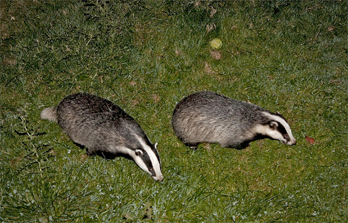New badger culls are a 'miserable failure' as target missed