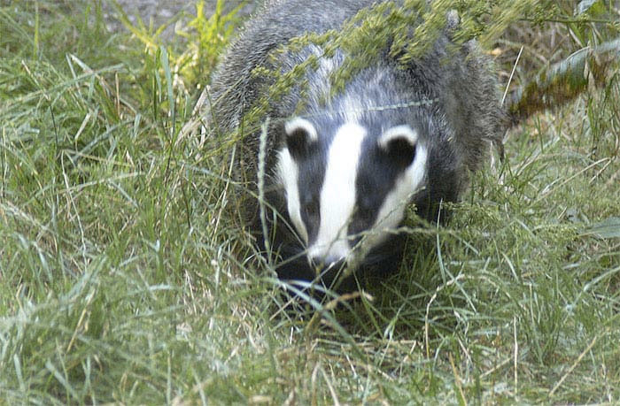 Badger cull is legal as Trust loses appeal