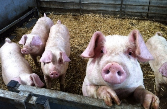 Visual imaging to help pork producers improve health