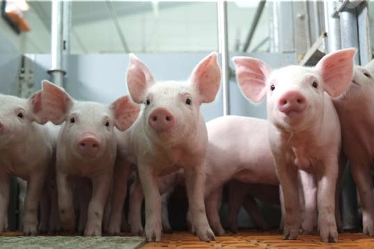 Highly virulent Asian-American pig disease spreads to Europe