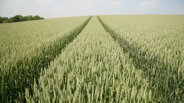 UK wheat yields have potential to double