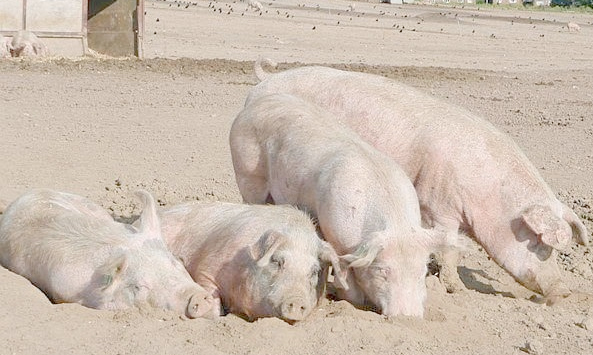 MRSA found in pigs in England as human r...