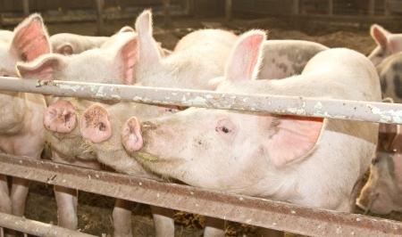 Worrying increase in milk spots in pigs