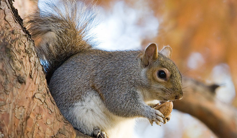 Grey squirrel numbers increase according...