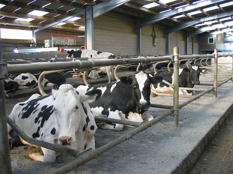 Leading Vet Discusses Management Of Cubicle Beds For Cow