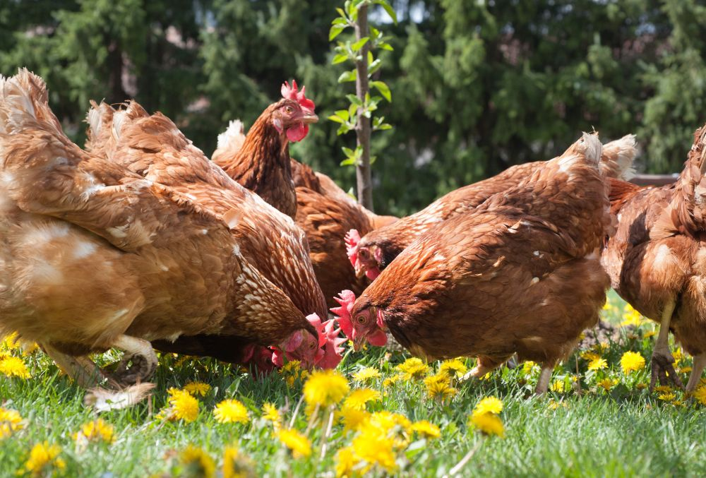 Boost for Scottish poultry industry: Co-Op ramps up Scottish sourced chicken