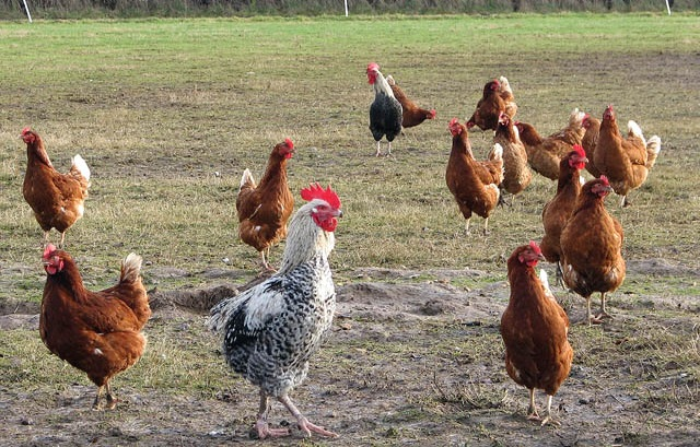 Entries open for the 2015 Zoetis & British Poultry Council Trainee Award
