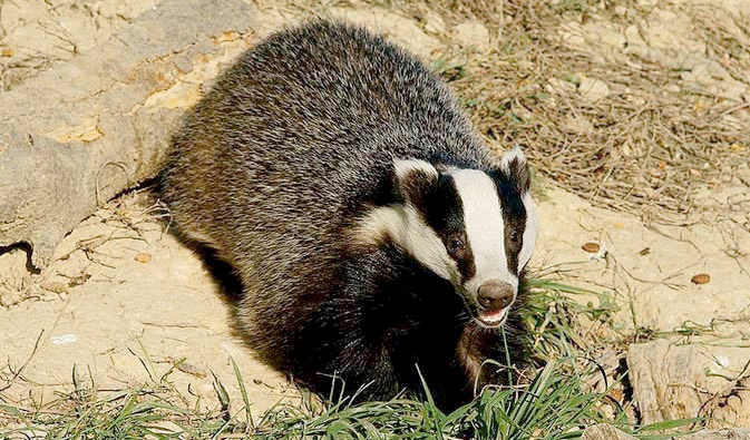 Bovine TB: A new round of badger culls to begin