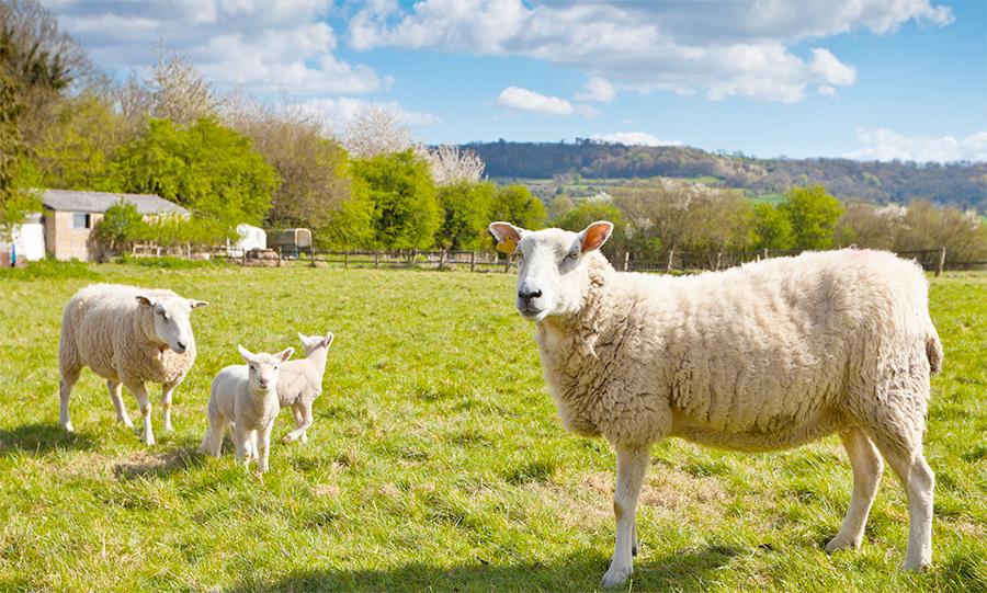 Retailer support for Scotch lamb PGI campaign