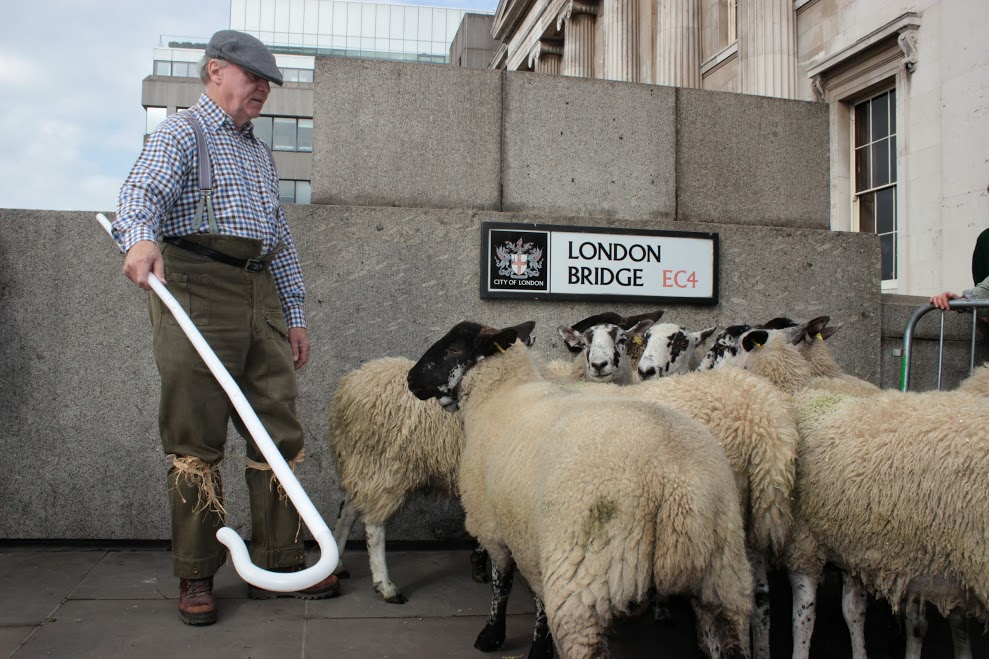 More than 800 Freemen of the City of London, affiliated to one of the 110 City Livery Companies, will join forces next Sunday (27th September) to exercise their long-established right to drive sheep across London's oldest river crossing
