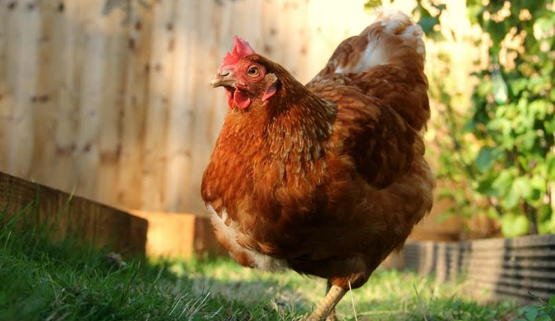 British Hen Welfare Trust re-homing thousands of hens this October