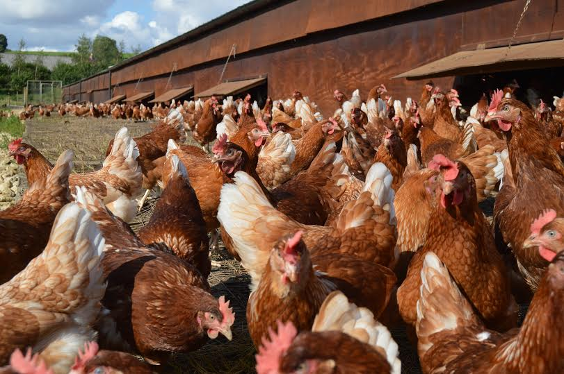 Survey shows 80% of UK shoppers regularly buy free range eggs