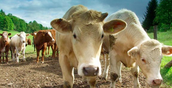 Bristol to host international conference on sustainable livestock