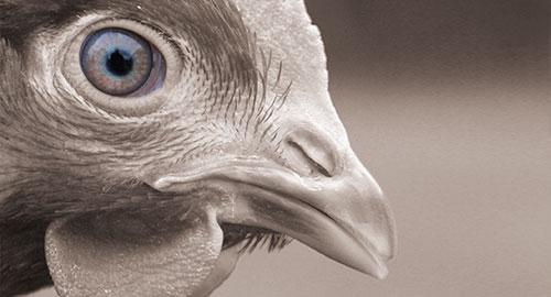 Beak trimming ban to cost German producers €1.57 per bird
