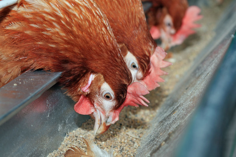 Research underway at Auburn to control AI in poultry feeds